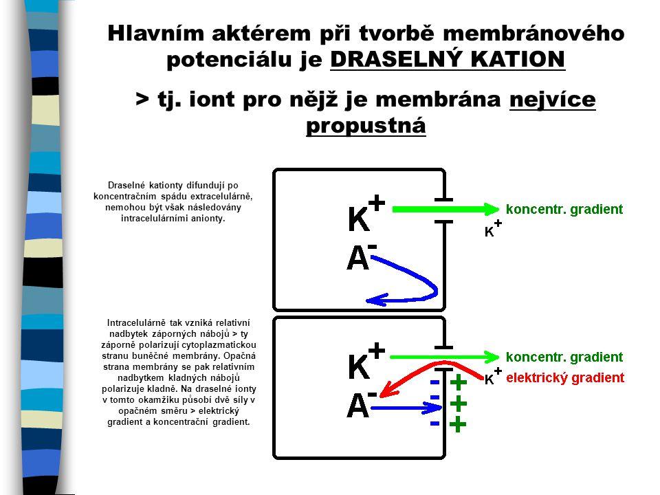 Hlavním aktérem při tvorbě membránového potenciálu je DRASELNÝ KATION > tj. iont pro nějž je membrána nejvíce propustná Draselné kationty difundují po