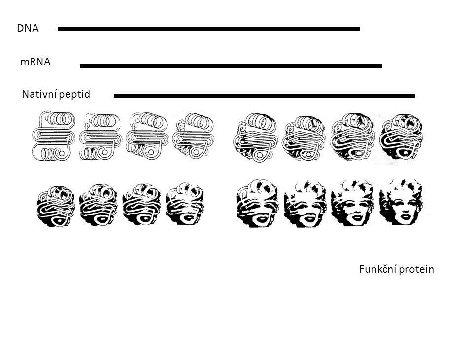 DNA mRNA Nativní peptid Funkční protein