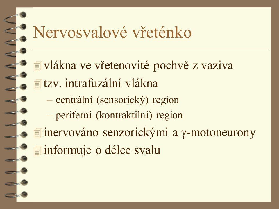 Nervosvalové vřeténko 4 vlákna ve vřetenovité pochvě z vaziva 4 tzv. intrafuzální vlákna –centrální (sensorický) region –periferní (kontraktilní) regi