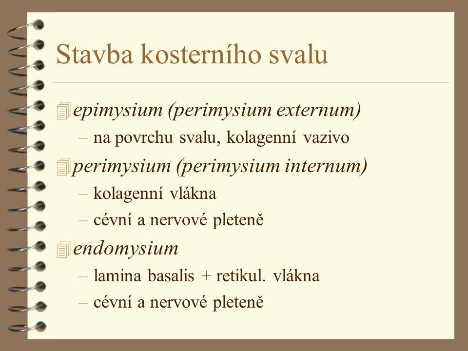 Stavba kosterního svalu 4 epimysium (perimysium externum) –na povrchu svalu, kolagenní vazivo 4 perimysium (perimysium internum) –kolagenní vlákna –cé