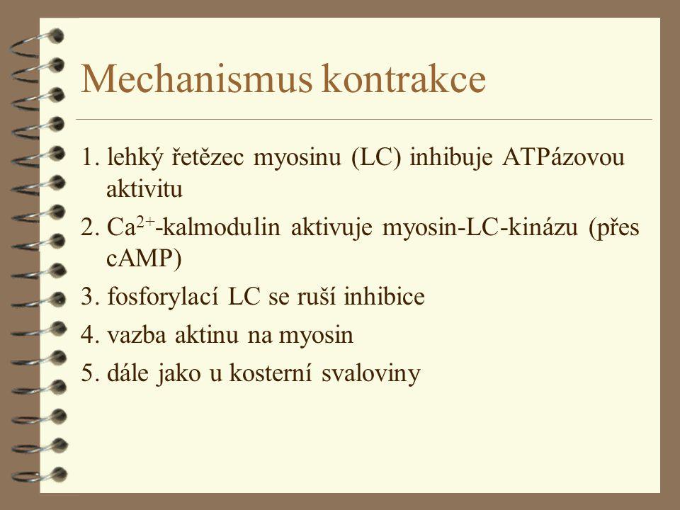 Mechanismus kontrakce 1. lehký řetězec myosinu (LC) inhibuje ATPázovou aktivitu 2. Ca 2+ -kalmodulin aktivuje myosin-LC-kinázu (přes cAMP) 3. fosforyl