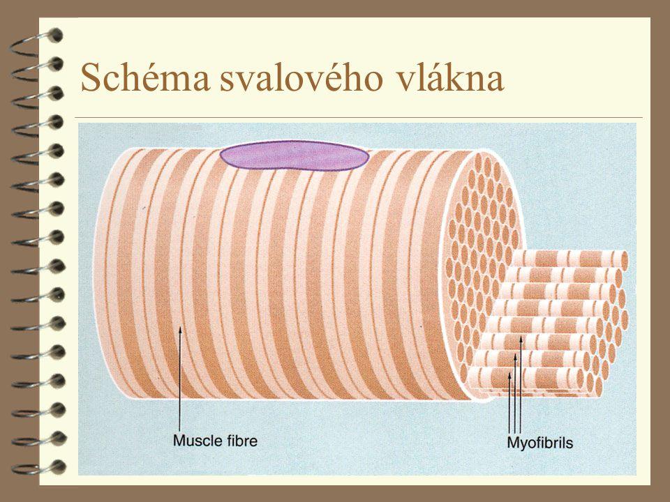 Schéma svalového vlákna