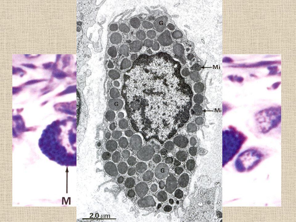 Žírné buňky oválná bb. 20-30 um velká, žije 8-18 dní bazofilní granula překrývají jádro, GA granula obsahují eoz. chemot. faktor, histamin, proteáz, p