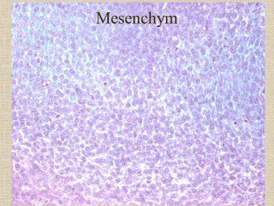 Mesenchym