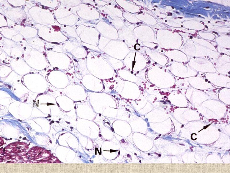 Bílá tuková tkáň triacylglyceroly –z potravy - chylomikrony –z jater - VLDL –* v adipocytech z glukózy (řízeno insulinem) mobilizace - nerovnoměrná me