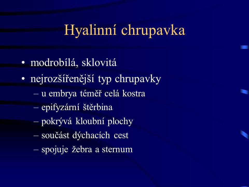 Hyalinní chrupavka modrobílá, sklovitá nejrozšířenější typ chrupavky –u embrya téměř celá kostra –epifyzární štěrbina –pokrývá kloubní plochy –součást