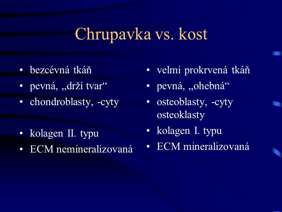 """Chrupavka vs. kost bezcévná tkáň pevná, """"drží tvar"""" chondroblasty, -cyty kolagen II. typu ECM nemineralizovaná velmi prokrvená tkáň pevná, """"ohebná"""" os"""