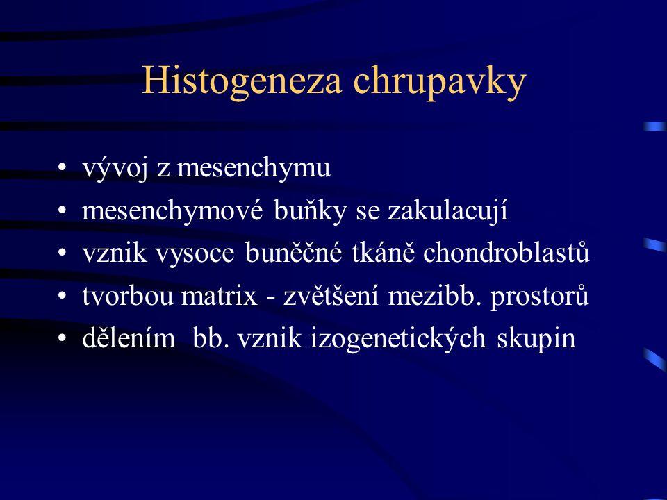 Histogeneza chrupavky vývoj z mesenchymu mesenchymové buňky se zakulacují vznik vysoce buněčné tkáně chondroblastů tvorbou matrix - zvětšení mezibb. p