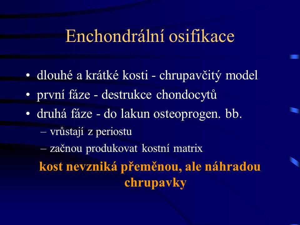 Enchondrální osifikace dlouhé a krátké kosti - chrupavčitý model první fáze - destrukce chondocytů druhá fáze - do lakun osteoprogen. bb. –vrůstají z