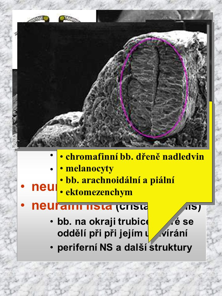 Vývoj původ: ektoderm indukce notochordem neurální ploténka neurální brázdička neurální valy, splynutí  neurální trubice neurální lišta (crista neura