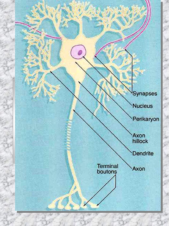 podle funkce: motorické (eferentní) senzorické (aferentní) interneurony (nejpočetnější) podle počtu výběžků: multipolární (nejčastější) bipolární pseu