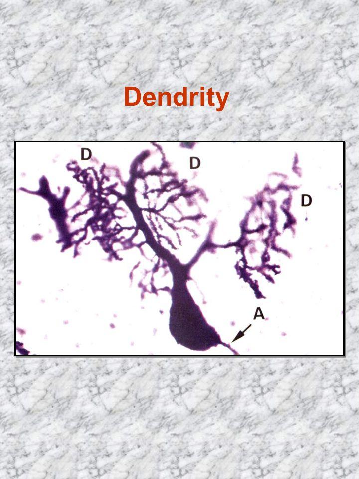 Dendrity vedou vzruch k perikaryu 1 neuron má až sta tisíce kontaktů složení cytoplazmy jako v perikaryu kromě GA