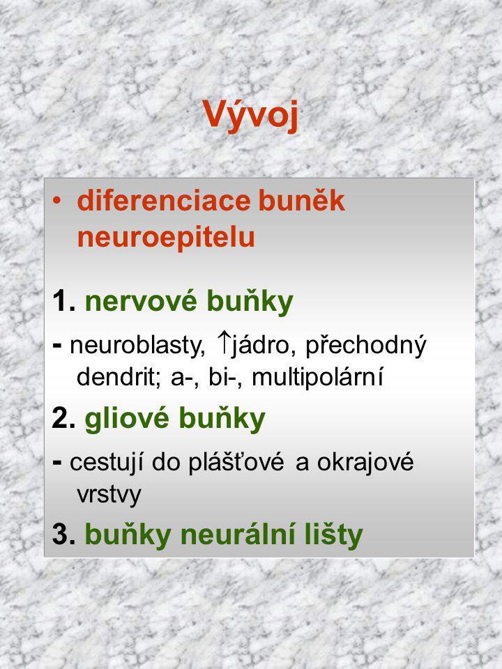 diferenciace buněk neuroepitelu 1. nervové buňky - neuroblasty,  jádro, přechodný dendrit; a-, bi-, multipolární 2. gliové buňky - cestují do plášťov