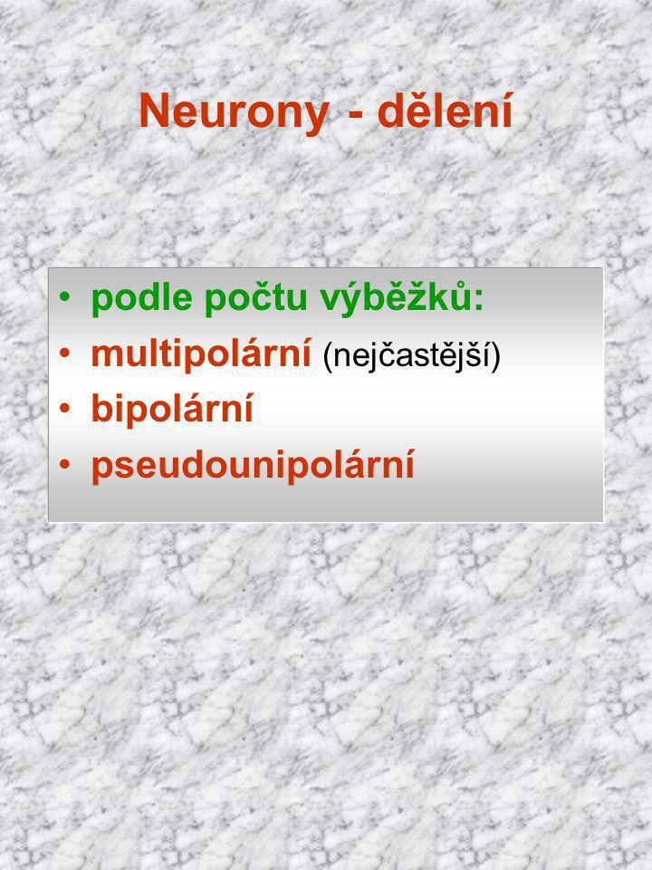 podle počtu výběžků: multipolární (nejčastější) bipolární pseudounipolární Neurony - dělení