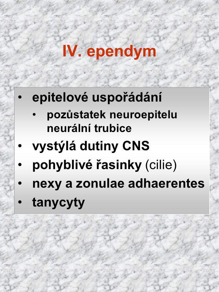 epitelové uspořádání pozůstatek neuroepitelu neurální trubice vystýlá dutiny CNS pohyblivé řasinky (cilie) nexy a zonulae adhaerentes tanycyty IV. epe