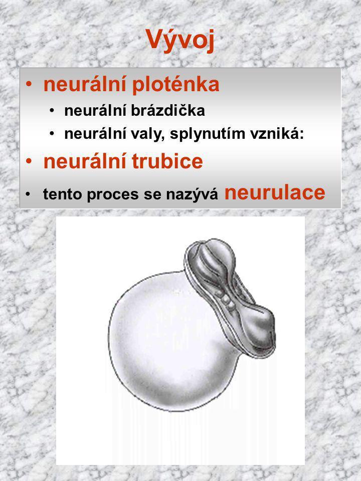 Vývoj neurální ploténka neurální brázdička neurální valy, splynutím vzniká: neurální trubice tento proces se nazývá neurulace