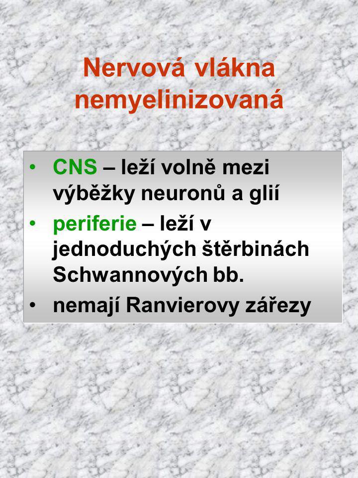 CNS – leží volně mezi výběžky neuronů a glií periferie – leží v jednoduchých štěrbinách Schwannových bb. nemají Ranvierovy zářezy Nervová vlákna nemye
