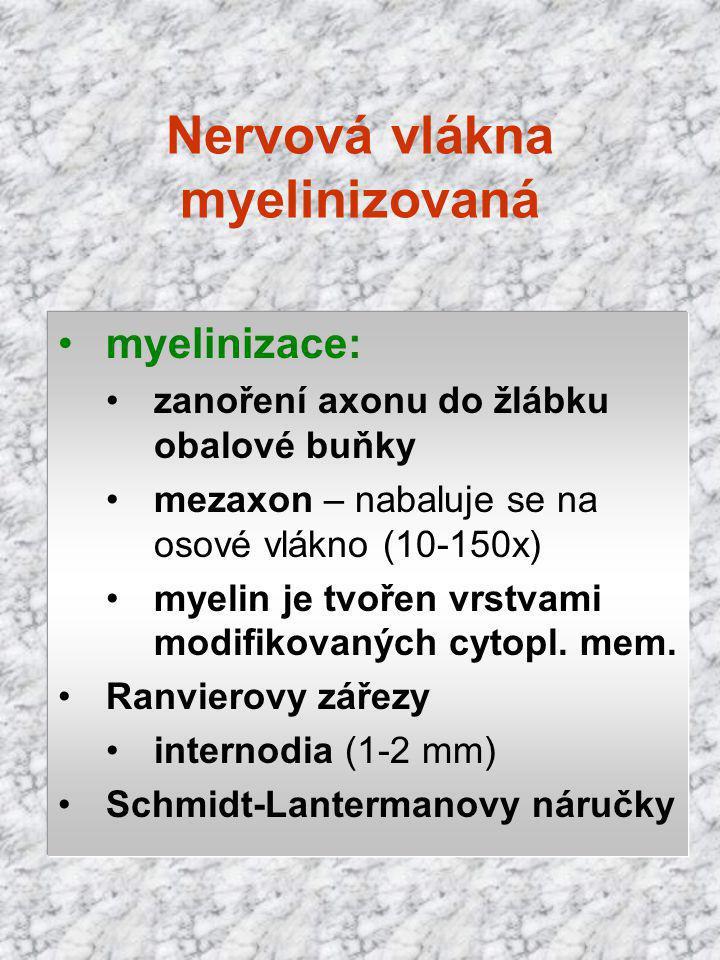 Nervová vlákna myelinizovaná myelinizace: zanoření axonu do žlábku obalové buňky mezaxon – nabaluje se na osové vlákno (10-150x) myelin je tvořen vrst