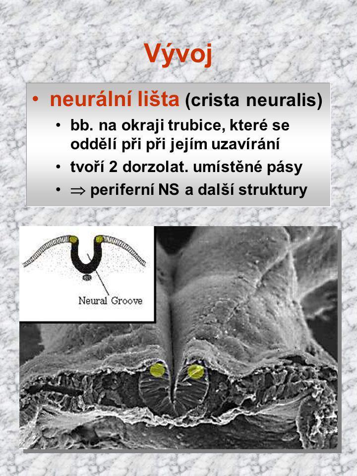 Vývoj neurální lišta (crista neuralis) bb. na okraji trubice, které se oddělí při při jejím uzavírání tvoří 2 dorzolat. umístěné pásy  periferní NS a