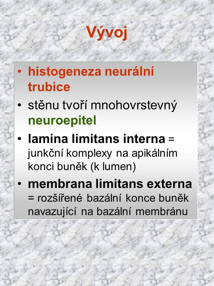 Vývoj histogeneza neurální trubice stěnu tvoří mnohovrstevný neuroepitel lamina limitans interna = junkční komplexy na apikálním konci buněk (k lumen)