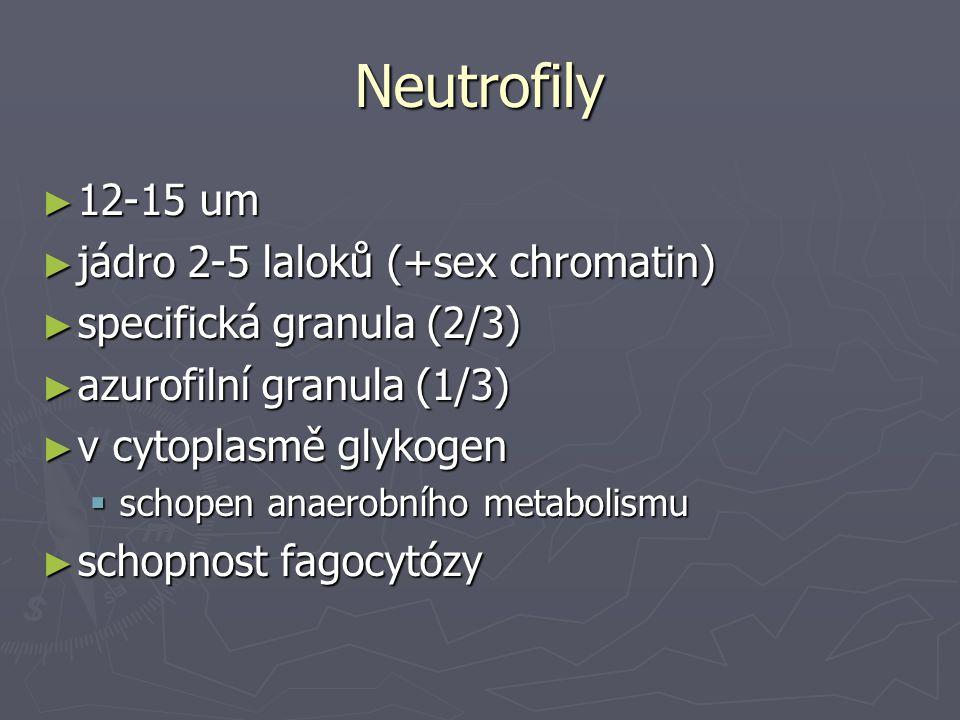 Neutrofily ► 12-15 um ► jádro 2-5 laloků (+sex chromatin) ► specifická granula (2/3) ► azurofilní granula (1/3) ► v cytoplasmě glykogen  schopen anae