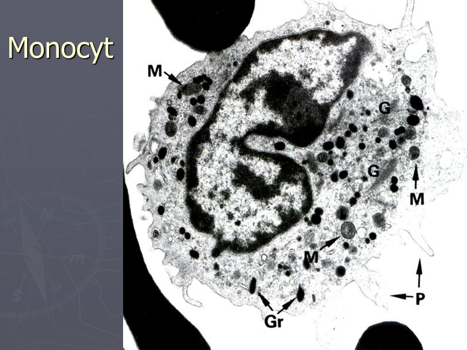 Monocyt