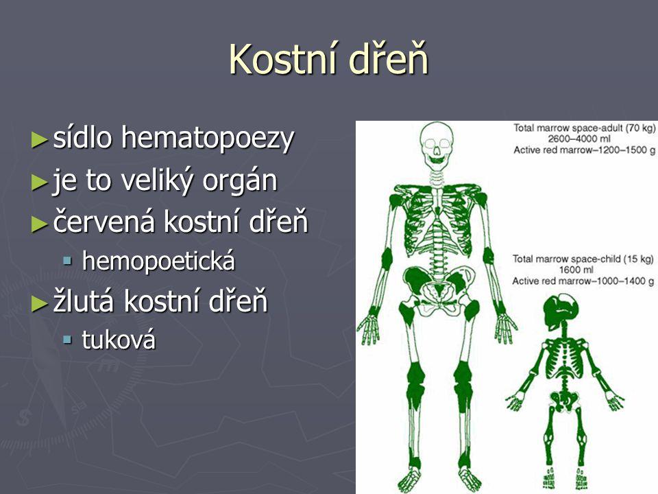 Kostní dřeň ► sídlo hematopoezy ► je to veliký orgán ► červená kostní dřeň  hemopoetická ► žlutá kostní dřeň  tuková