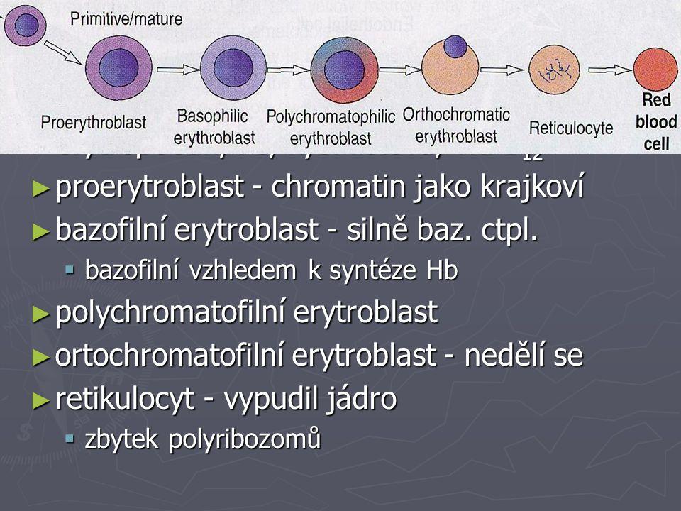 Vyzrávání erytrocytů ► erytropoetin, Fe, kys. listová, vit. B 12 ► proerytroblast - chromatin jako krajkoví ► bazofilní erytroblast - silně baz. ctpl.