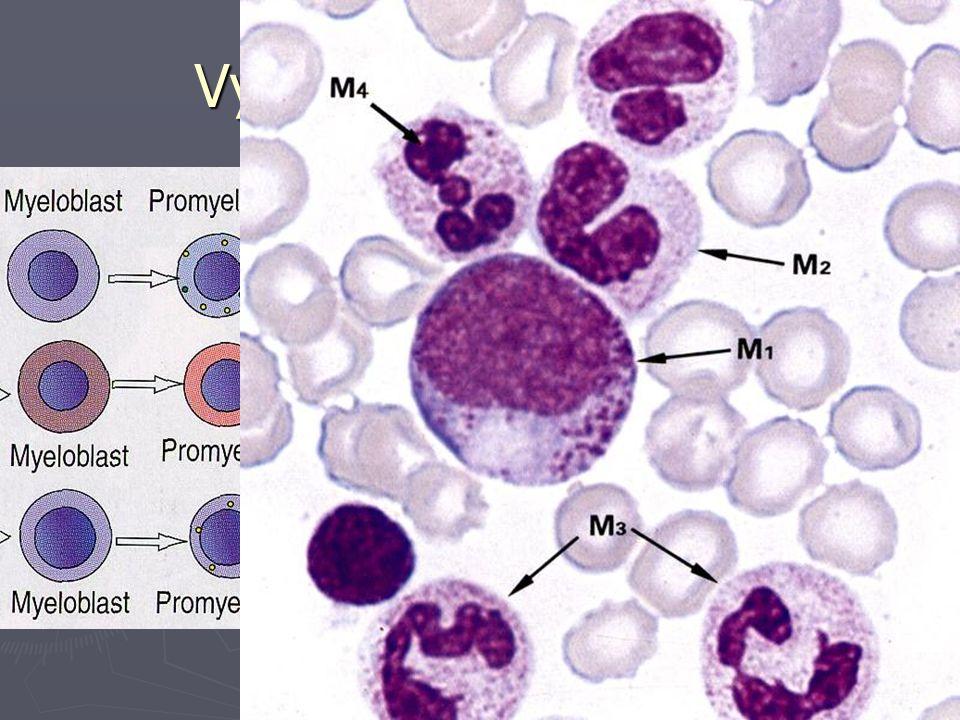 Vyzrávání granulocytů ► myeloblast - rozptýlený chromatin ► promyelocyt - bazof. ctpl., azur. gr. ► myelocyty - kondenzace chromatinu  neutrofilní 
