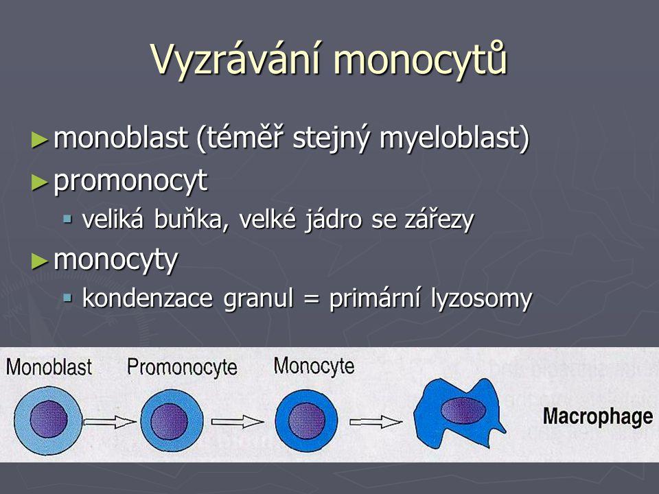 Vyzrávání monocytů ► monoblast (téměř stejný myeloblast) ► promonocyt  veliká buňka, velké jádro se zářezy ► monocyty  kondenzace granul = primární