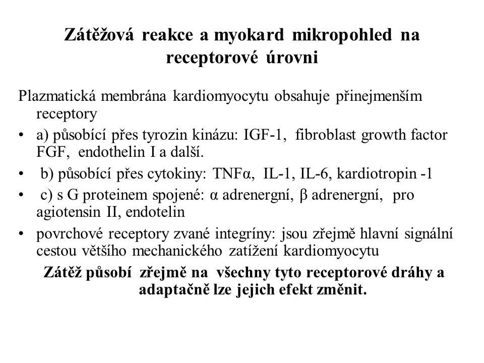 Zátěžová reakce a myokard mikropohled na receptorové úrovni Plazmatická membrána kardiomyocytu obsahuje přinejmenším receptory a) působící přes tyrozi
