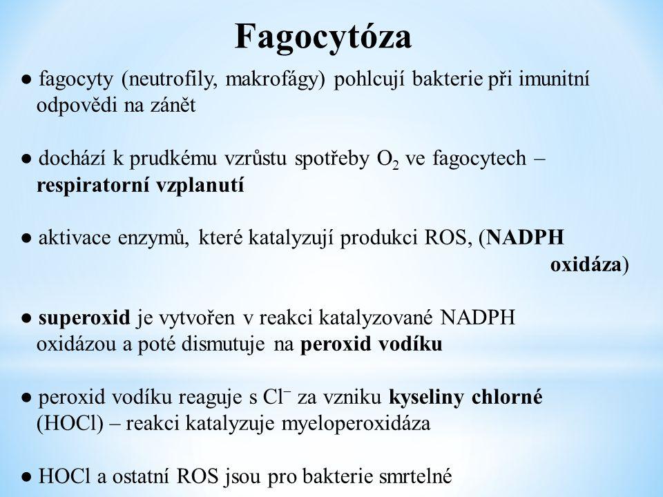 Fagocytóza ● fagocyty (neutrofily, makrofágy) pohlcují bakterie při imunitní odpovědi na zánět ● dochází k prudkému vzrůstu spotřeby O 2 ve fagocytech