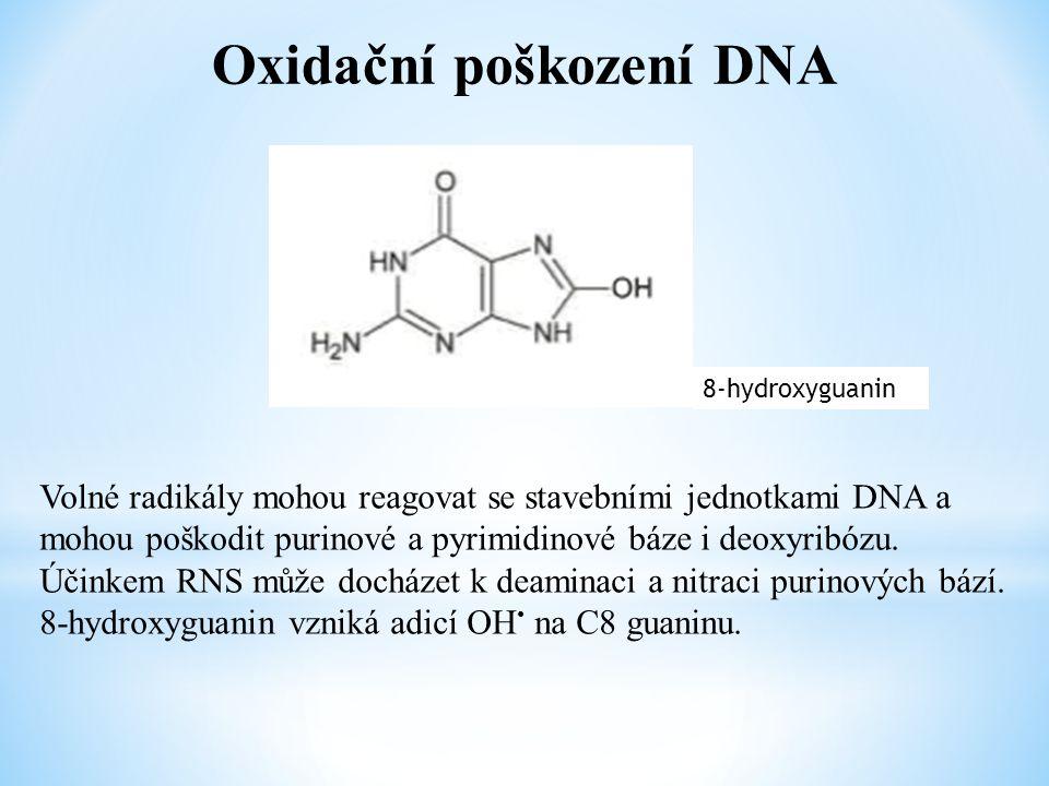 Oxidační poškození DNA 8-hydroxyguanin Volné radikály mohou reagovat se stavebními jednotkami DNA a mohou poškodit purinové a pyrimidinové báze i deox