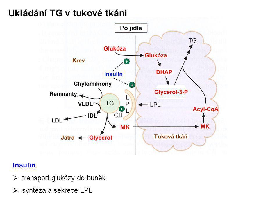 Ukládání TG v tukové tkáni Insulin  transport glukózy do buněk  syntéza a sekrece LPL MK