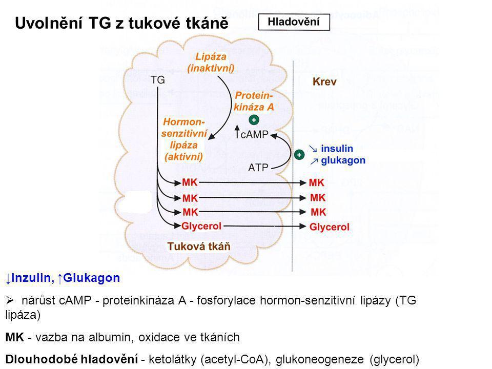 Uvolnění TG z tukové tkáně ↓Inzulin, ↑Glukagon  nárůst cAMP - proteinkináza A - fosforylace hormon-senzitivní lipázy (TG lipáza) MK - vazba na albumi