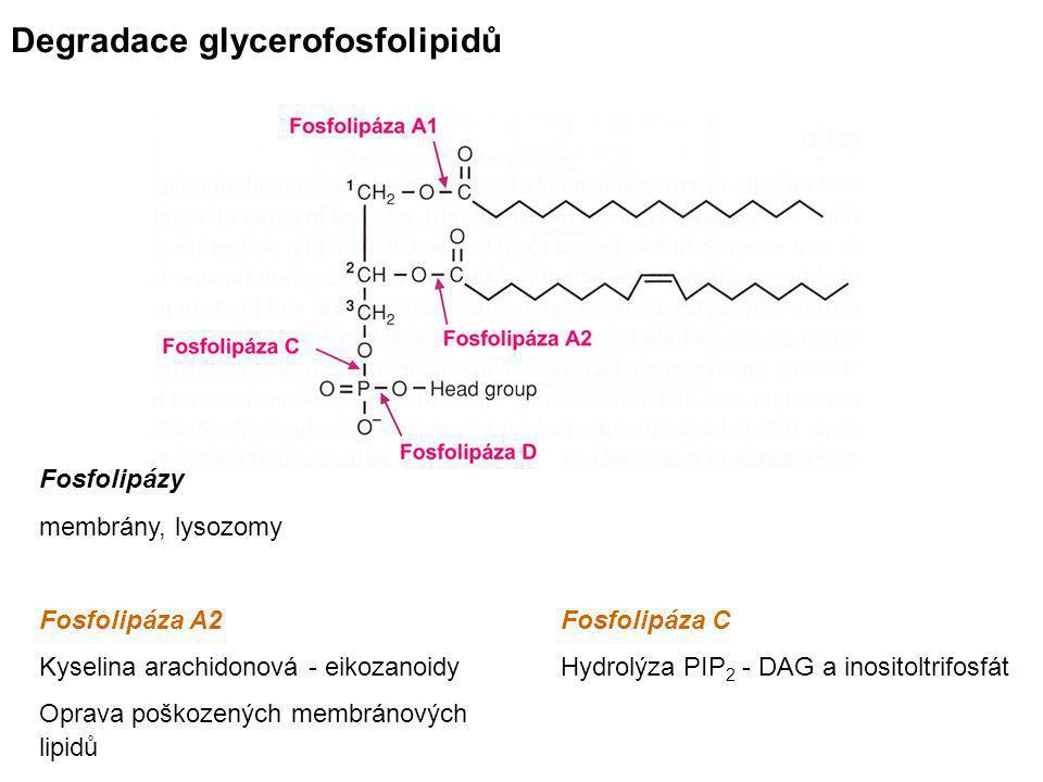 Degradace glycerofosfolipidů Fosfolipázy membrány, lysozomy Fosfolipáza A2Fosfolipáza C Kyselina arachidonová - eikozanoidyHydrolýza PIP 2 - DAG a ino