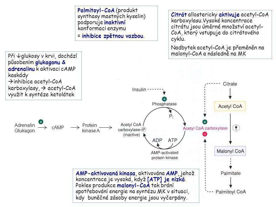 Adrenalin Glukagon cAMP Protein kinase A AMP-aktivovaná kinasa, aktivována AMP, jehož koncentrace je vysoká, když [ATP] je nízká. Pokles produkce malo