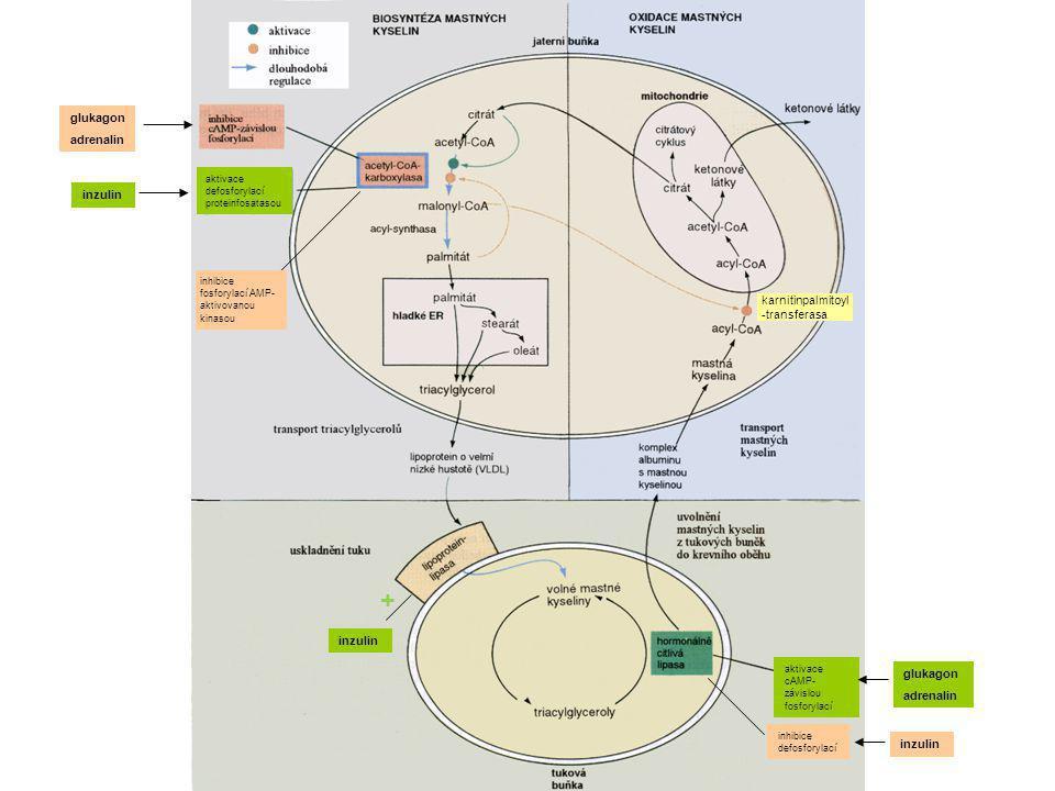 glukagon adrenalin inhibice fosforylací AMP- aktivovanou kinasou aktivace defosforylací proteinfosatasou inzulin glukagon adrenalin aktivace cAMP- záv
