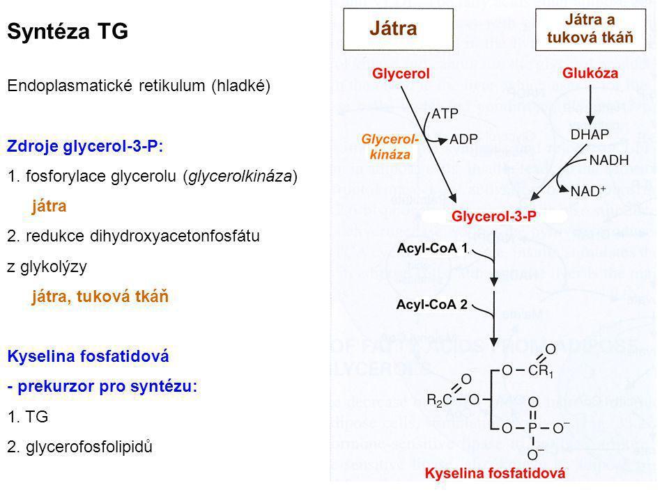 Syntéza TG Endoplasmatické retikulum (hladké) Zdroje glycerol-3-P: 1. fosforylace glycerolu (glycerolkináza) játra 2. redukce dihydroxyacetonfosfátu z