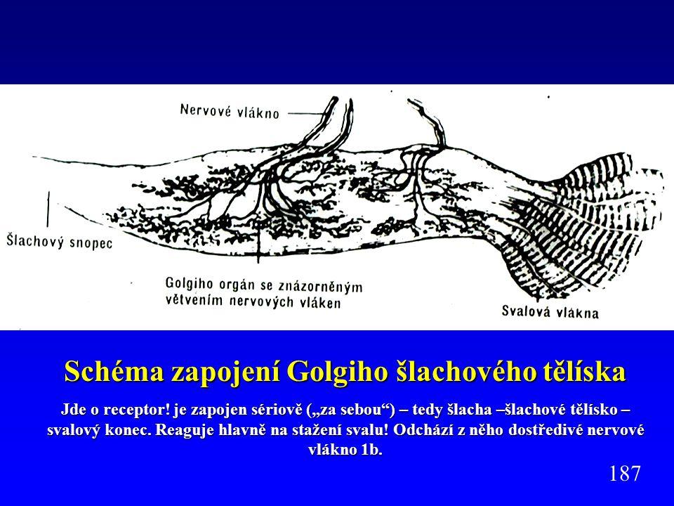 """Schéma zapojení Golgiho šlachového tělíska Jde o receptor! je zapojen sériově (""""za sebou"""") – tedy šlacha –šlachové tělísko – svalový konec. Reaguje hl"""