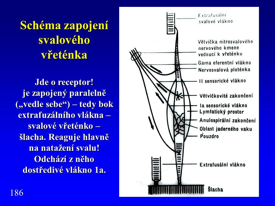 """Schéma zapojení svalového vřeténka Jde o receptor! je zapojený paralelně (""""vedle sebe"""") – tedy bok extrafuzálního vlákna – svalové vřeténko – šlacha."""