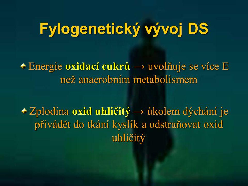 Fylogenetický vývoj DS Energie oxidací cukrů → uvolňuje se více E než anaerobním metabolismem Zplodina oxid uhličitý → úkolem dýchání je přivádět do t
