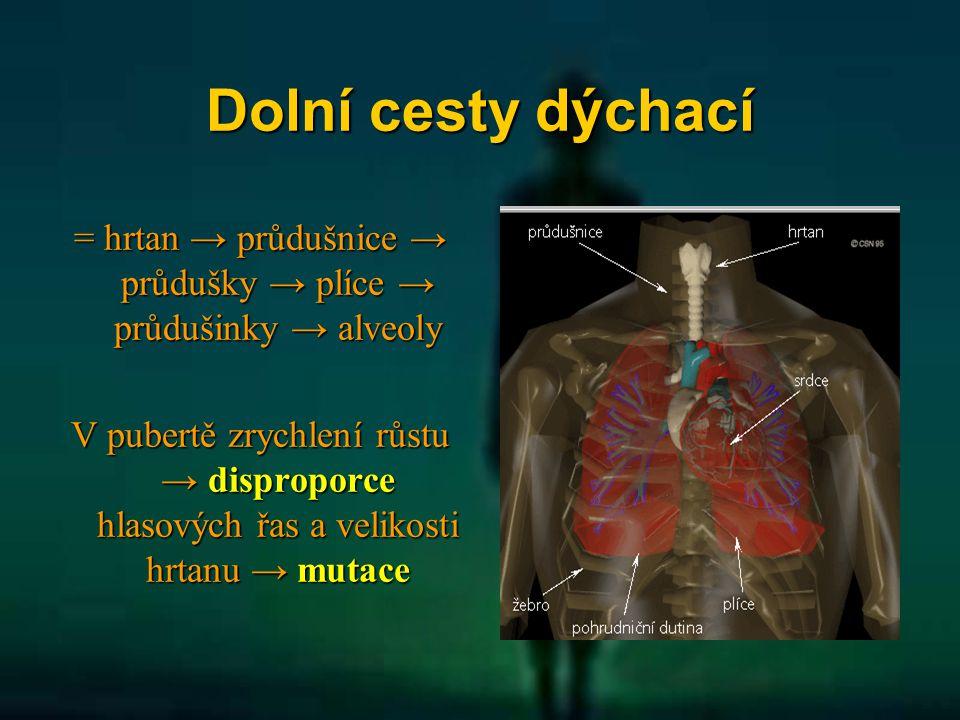 Dolní cesty dýchací = hrtan → průdušnice → průdušky → plíce → průdušinky → alveoly V pubertě zrychlení růstu → disproporce hlasových řas a velikosti h