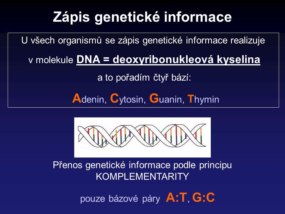 Přenos genetické informace podle principu KOMPLEMENTARITY pouze bázové páry A:T, G:C Zápis genetické informace U všech organismů se zápis genetické in