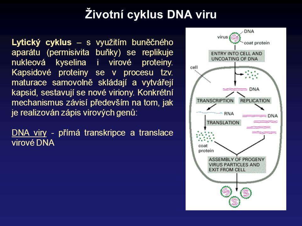 Životní cyklus DNA viru Lytický cyklus – s využitím buněčného aparátu (permisivita buňky) se replikuje nukleová kyselina i virové proteiny. Kapsidové