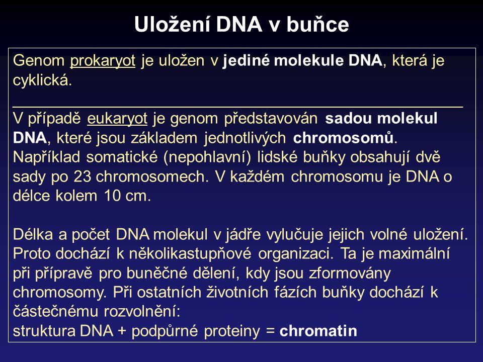 Eukaryota Prokaryota Postup exprese genetické informace RNA molekuly se účastní v procesu exprese genetické informace ve 4 rolích mRNA (informační) – nese informaci o pořadí aminokyselin rRNA (ribosomální) - stavební jednotky ribosomu (kromě proteinů) tRNA (transferová) – přenašeč aminokyselin při syntéze proteinů na ribosomu krátké RNA – účast při post-transkripčních úpravách