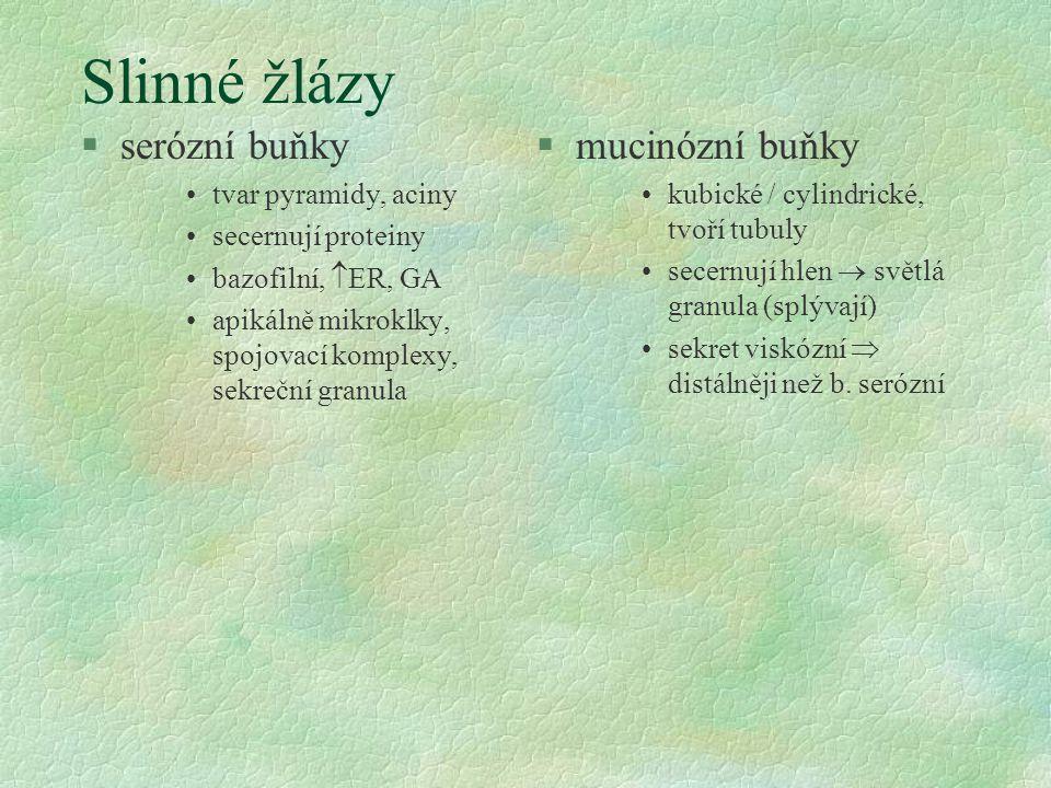 Slinné žlázy §serózní buňky tvar pyramidy, aciny secernují proteiny bazofilní,  ER, GA apikálně mikroklky, spojovací komplexy, sekreční granula §muci