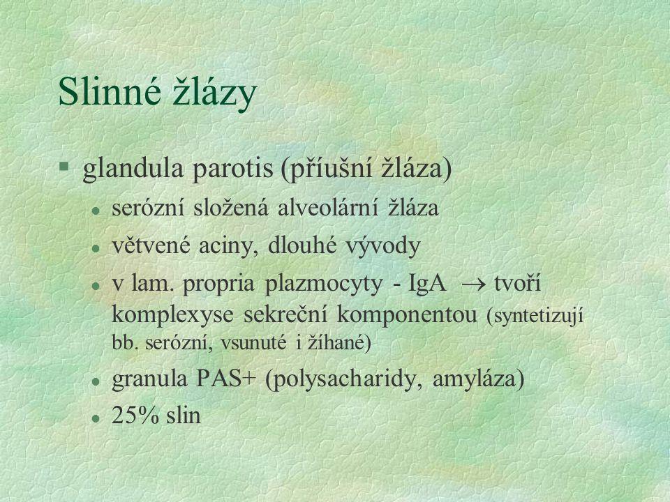 Slinné žlázy §glandula parotis (příušní žláza) l serózní složená alveolární žláza l větvené aciny, dlouhé vývody l v lam. propria plazmocyty - IgA  t