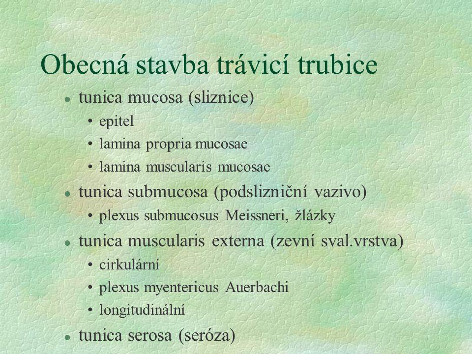 Obecná stavba trávicí trubice l tunica mucosa (sliznice) epitel lamina propria mucosae lamina muscularis mucosae l tunica submucosa (podslizniční vazi