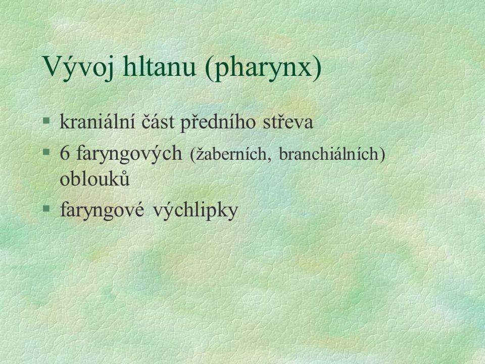 Vývoj hltanu (pharynx) §kraniální část předního střeva §6 faryngových (žaberních, branchiálních) oblouků §faryngové výchlipky